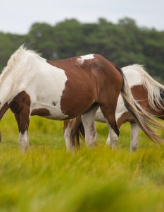 Wild Horses, Assateague Island,